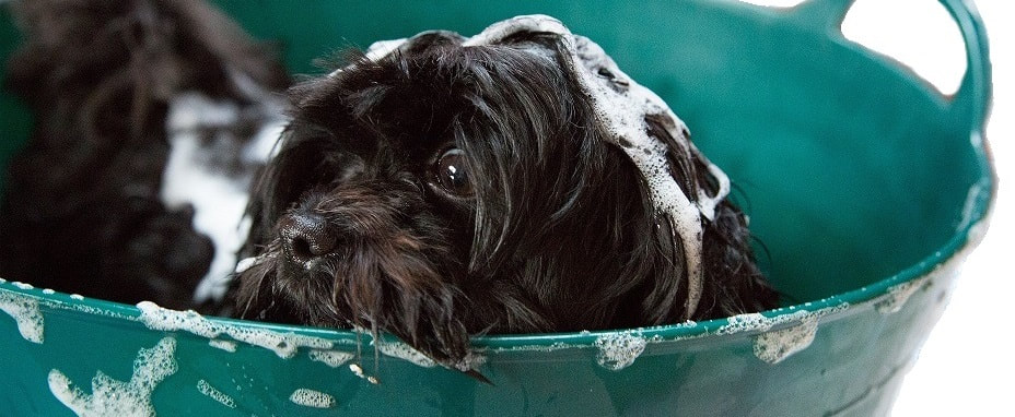 Black haired puppy in the middle of a bubble bath, picture taken in Bunbury, Western Australia